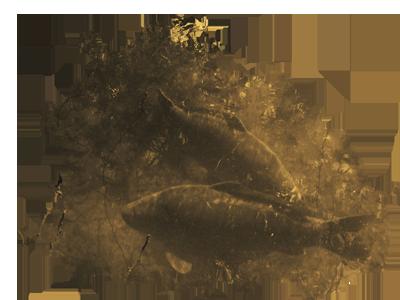 carp image